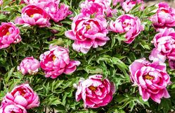 Rare type peonies. On the greeneries Royalty Free Stock Photo