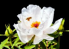 Rare type peony and bee gathering honey Stock Photos