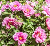 Rare type peonyies Royalty Free Stock Photo