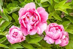 Rare type peonyies Royalty Free Stock Image