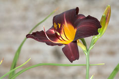 Rare variety day lily Stock Photography