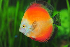 White face red marlboro discus fish Royalty Free Stock Photography