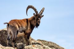 Rare Walia ibex in Simien Mountains Ethiopia. Very rare Walia ibex, Capra walia, one of the rarest ibex in world. Only about 500 individuals survived in Simien stock images