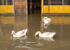 A trumpeter swan amd friends enjoying hurricane flooding in florida. A rare waterfowl swimming with two geese in a flooded chicken coop Royalty Free Stock Photo