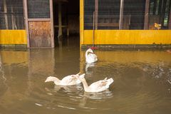 A trumpeter swan and friends enjoying hurricane flooding in florida. A rare waterfowl swimming with two geese in a flooded chicken coop Royalty Free Stock Images
