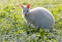 Rare white albino wallaby Royalty Free Stock Photos