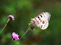 Rare white Apollo butterfly on a clover Royalty Free Stock Image