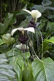 Rare white bat flower Tacca chantrieri tropical plant with black center and long whiskers. Rare white bat flower Tacca chantrieri with upright white petals, dark royalty free stock image