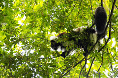 Rare White-belted Ruffed lemur - Gürtelvari, Varecia variegata subcincta, feeding on trees, National Park Nosi Mangabe, Mada Stock Photo