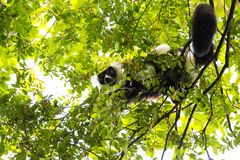 Rare White-belted Ruffed lemur - Gürtelvari, Varecia variegata subcincta, feeding on trees, National Park Nosi Mangabe, Mada Stock Photography