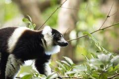 Rare White-belted Ruffed lemur - Gürtelvari, Varecia variegata subcincta, feeding on trees, National Park Nosi Mangabe, Mada Stock Photos