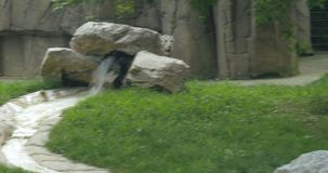 A white Bengal tiger. A rare white Bengal tiger stock video