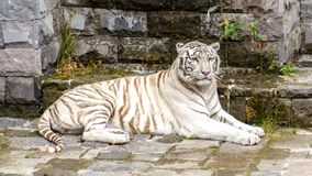 White Bengal tiger looking at the camera stock photos