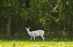 Rare white deer. Shot of a rare white,whitetailed deer taken at the senaca army depot near romulus,ny. This is the home to the largest herd of white deer in the Stock Image