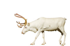 Rare white deer with golden horns isolated on  backgroound. Rare white deer with golden horns isolated on white,wild animal, christmas, new year, holiday, Santa Royalty Free Stock Photos