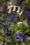 Rare White English Bluebell Stock Photo