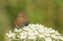 A rare White-letter Hairstreak Butterfly Satyrium w-album nectaring on a  flower. Stock Images