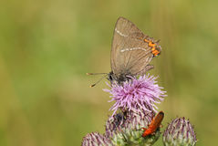 A rare White-letter Hairstreak Butterfly Satyrium w-album nectaring on a thistle flower. Stock Photos