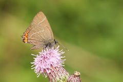 A rare White-letter Hairstreak Butterfly Satyrium w-album nectaring on a thistle flower. Stock Photo