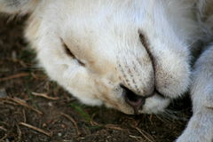 Rare white lion cub Royalty Free Stock Images