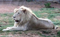 Rare white lion Stock Photos