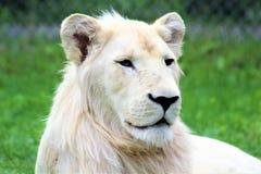 Parc Park Safari, Hemmingford, Quebec, Canada. Rare white lion at the Parc Park Safari, located in Hemmingford, Quebec, Canada stock photos