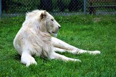 Parc Park Safari, Hemmingford, Quebec, Canada. Rare white lion at the Parc Park Safari, located in Hemmingford, Quebec, Canada royalty free stock images