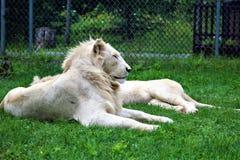 Parc Park Safari, Hemmingford, Quebec, Canada. Rare white lion at the Parc Park Safari, located in Hemmingford, Quebec, Canada royalty free stock photos