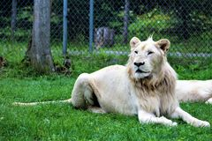 Parc Park Safari, Hemmingford, Quebec, Canada. Rare white lion at the Parc Park Safari, located in Hemmingford, Quebec, Canada Royalty Free Stock Image