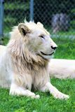 Parc Park Safari, Hemmingford, Quebec, Canada. Rare white lion at the Parc Park Safari, located in Hemmingford, Quebec, Canada stock photography