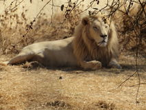 Rare white male lion resting Royalty Free Stock Photo