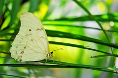 Rare white Morpho butterfly Royalty Free Stock Photo