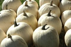 Rare White Pumkins Royalty Free Stock Photography