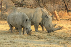 Rare white rhinos: Mom with beby! Royalty Free Stock Photo