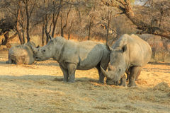Rare white rhinos: Mom with beby! Stock Photo