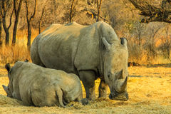 Rare white rhinos: Mom with beby! Stock Images