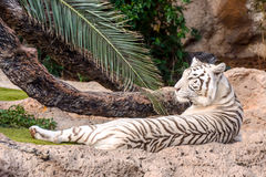 Rare White Striped Wild Tiger Royalty Free Stock Image