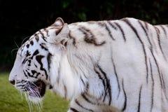 Rare White Striped Wild Tiger Stock Photo