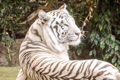 Rare White Striped Wild Tiger. Photo Picture of a Rare White Striped Wild Tiger royalty free stock image