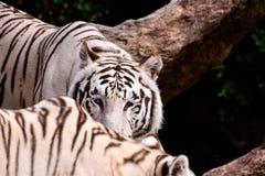 Rare White Striped Wild Tiger. Picture of a Rare White Striped Wild Tiger royalty free stock image