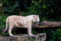 Rare white tiger. A rare white tiger watching his surroundings Stock Photo
