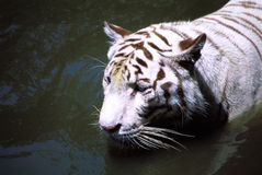 Rare White Tiger. At the Singapore Zoological gardens Stock Images