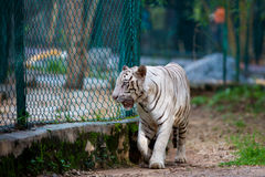 Rare White Tiger roaming wild. Royalty Free Stock Photography