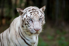 Rare White Tiger roaming wild. Royalty Free Stock Photos