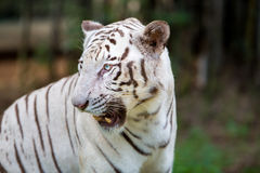 Rare White Tiger roaming wild. Royalty Free Stock Images