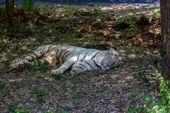 Rare White Tiger roaming wild. Stock Photos