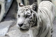 Rare white tiger slose portrait Stock Photos