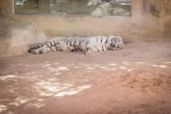Rare white tiger species lying down on the sand royalty free stock images