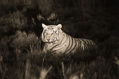 A rare white tiger in the wild Royalty Free Stock Images