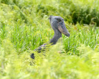 A rare wild Shoebill in Uganda Stock Images